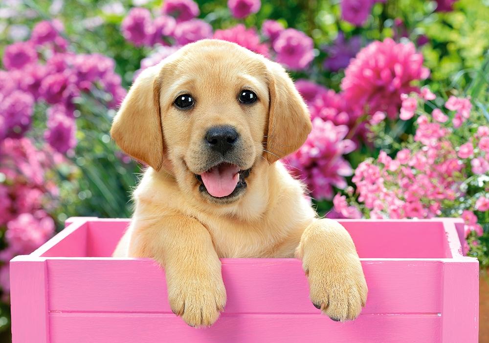 Puzzle Castorland Cachorro de Labrador de 500 Piezas