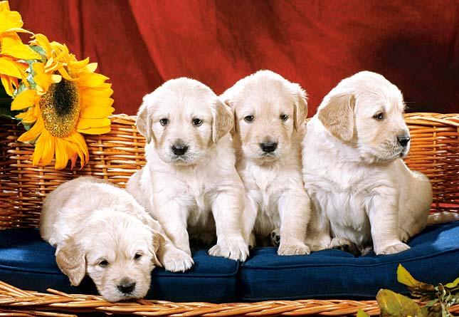 Puzzle Castorland Cachorros con Flores de 1000 Piezas