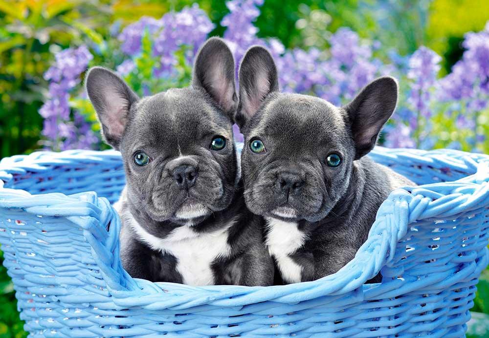 Puzzle Castorland Cachorros de Bulldog Francés de 1000 Piezas