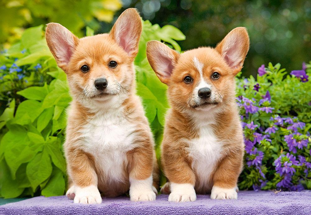 Puzzle Castorland Cachorros de Corgi Galés de 1000 Piezas