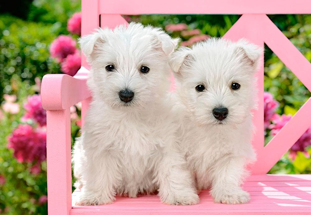 Puzzle Castorland Cachorros de White Terrier de 1500 Piezas