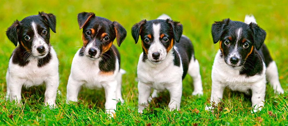 Puzzle Castorland Cachorros Jack Russell Terrier de 600 Pzs