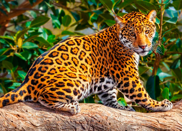 Puzzle Castorland El Pequeño Jaguar de 260 Piezas