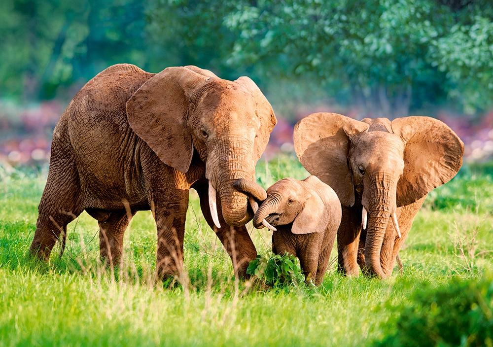 Puzzle Castorland Familia de Elefantes de 500 Piezas