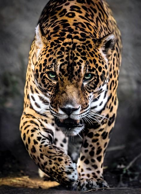 Puzzle Clementoni El Paso del Jaguar de 1000 Piezas