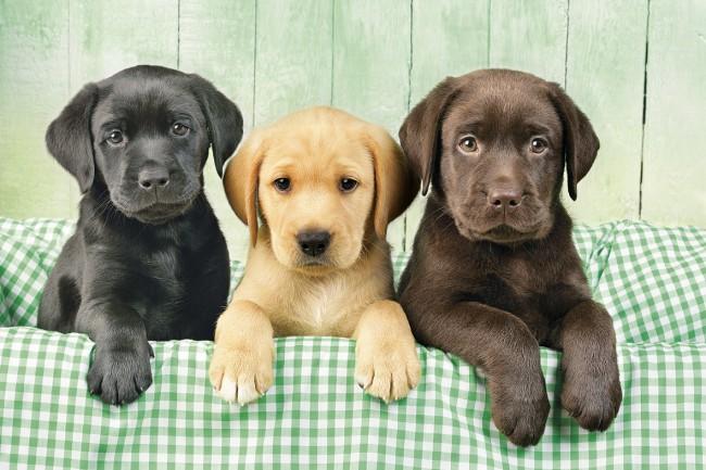 Puzzle Clementoni Los Tres Labradores de 1000 Piezas