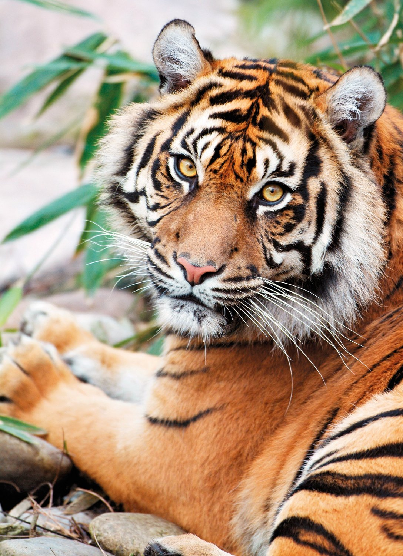 Puzzle Clementoni Tigre de Sumatra de 1000 Piezas