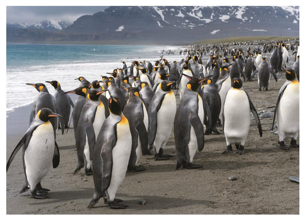 Puzzle Dino Pingüinos de 1000 Piezas