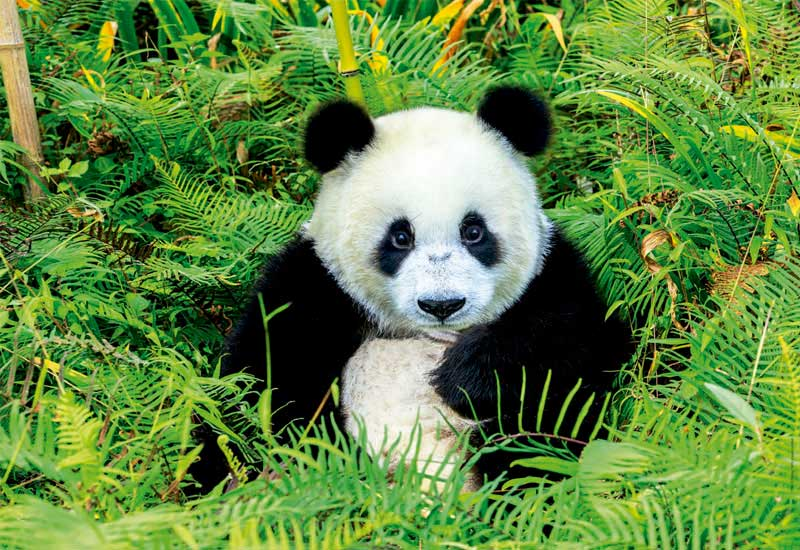 Puzzle Educa Oso Panda de 500 Piezas