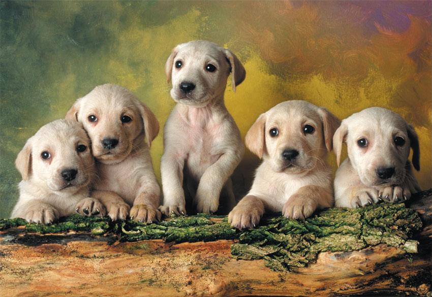 Puzzle Educa Pequeños Labradores de 500 Piezas