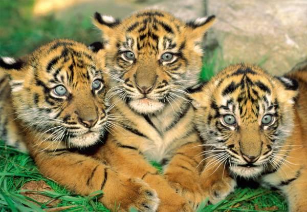 Puzzle Educa Pequeños Tigres de 500 Piezas