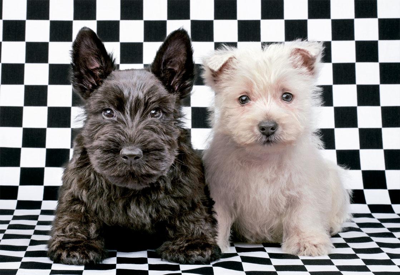 Puzzle Educa Terriers Blanco y Negro de 500 Piezas