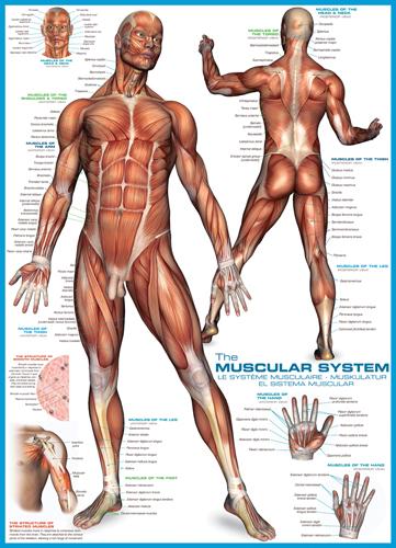 Puzzle Eurographics El Sistema Muscular de 1000 Piezas