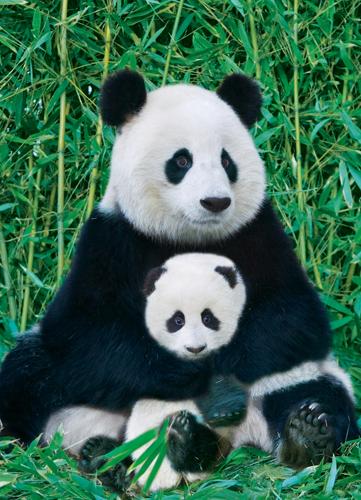 Puzzle Eurographics Oso Panda y su Bebé de 1000 Piezas
