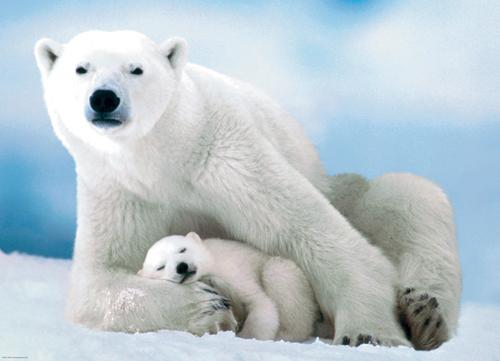 Puzzle Eurographics Oso Polar y su Bebé de 1000 Piezas