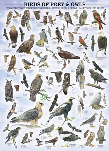 Puzzle Eurographics Pájaros de Presa y Buhos de 1000 Piezas
