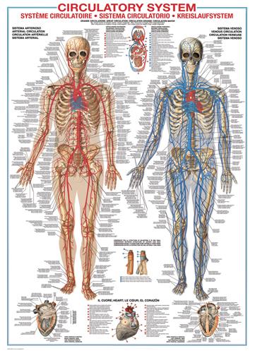 Puzzle Eurographics Sistema Circulatorio de 1000 Piezas