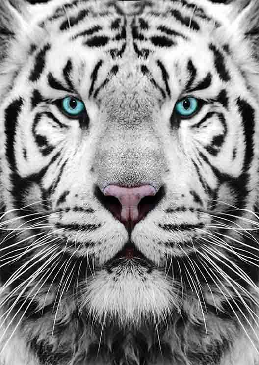 Puzzle Gold Tigre de Siberia de 1000 Piezas