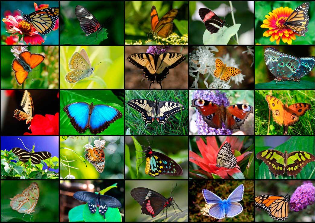 Puzzle Grafika Mariposas de 1000 Piezas