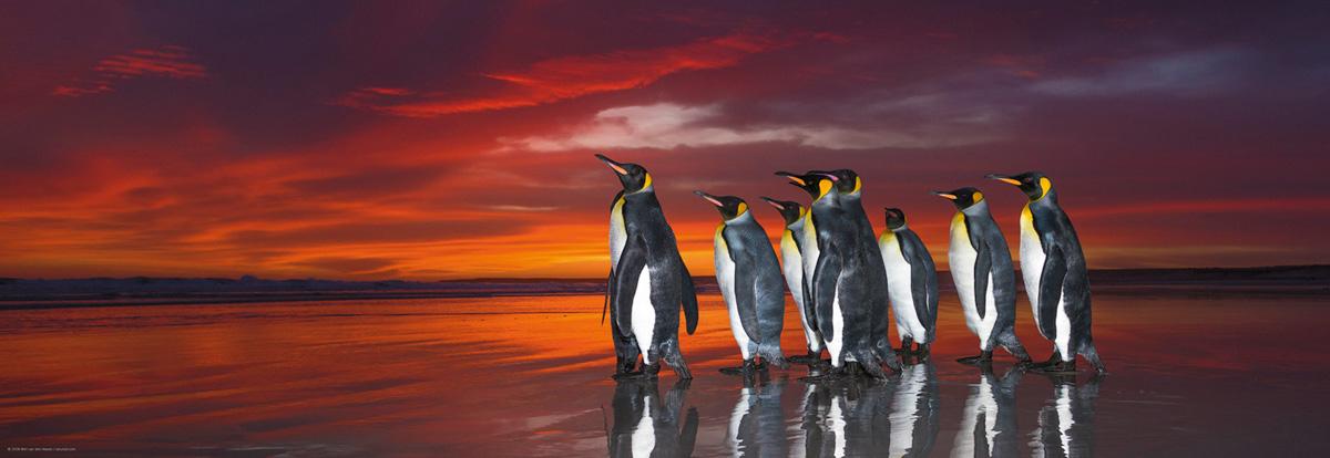 Puzzle Heye Pingüinos Rey de 1000 Piezas