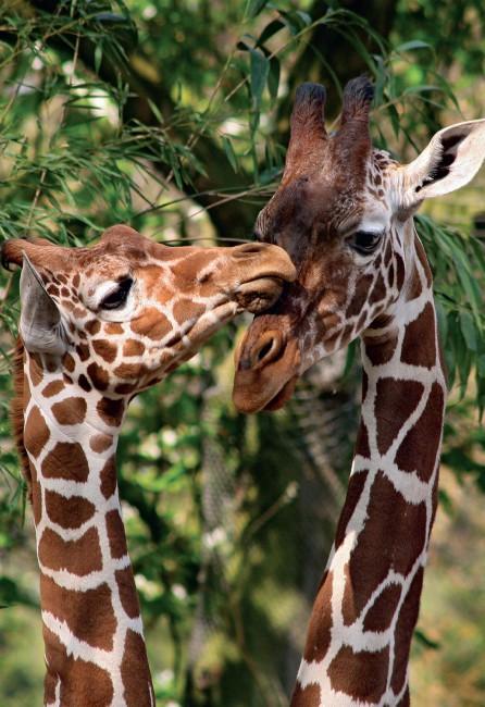 Puzzle Jumbo Jirafas del Zoo Artis, Asmterdam de 1000 Piezas