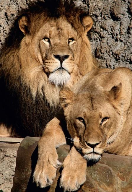 Puzzle Jumbo Leones del Zoo Artis, Asmterdam de 1000 Piezas