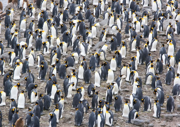 Puzzle Magnolia Colonia de Pingüinos Rey de 1500 Piezas