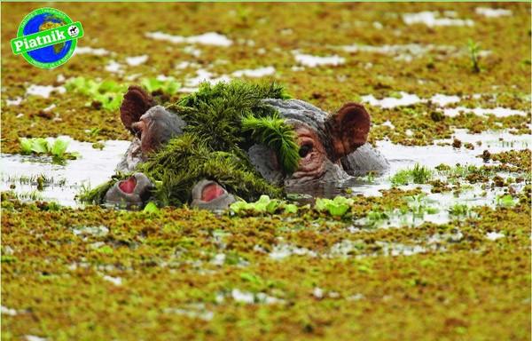 Puzzle Piatnik Hipopótamo de 1000 Piezas