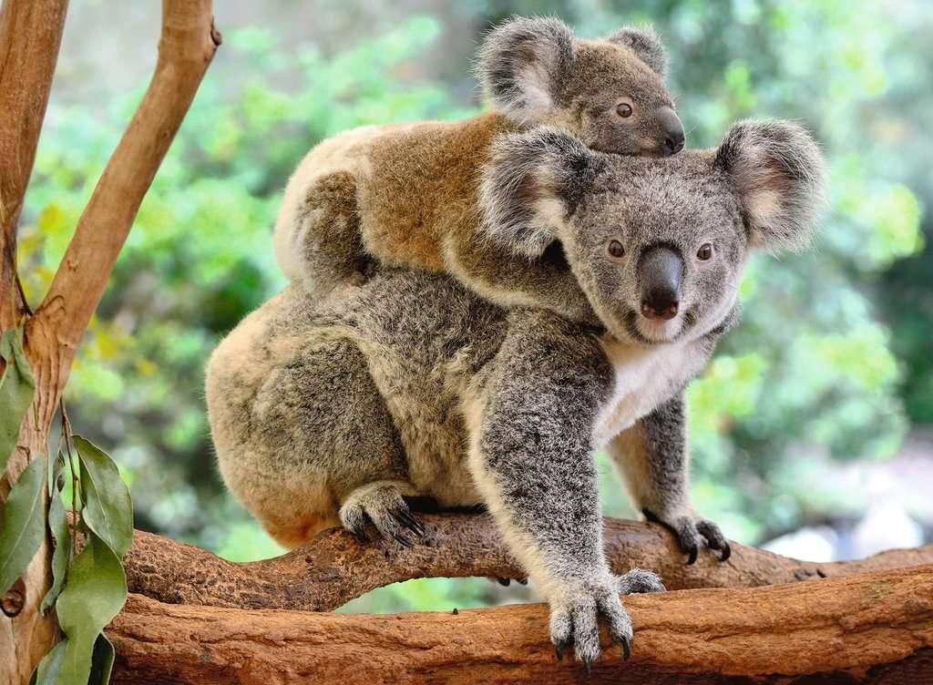 Puzzle Ravensburger Amor de Koala XXL de 200 Piezas