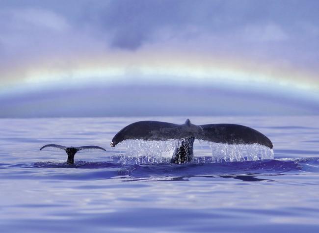 Puzzle Ravensburger Ballenas en el Océano de 500 Piezas