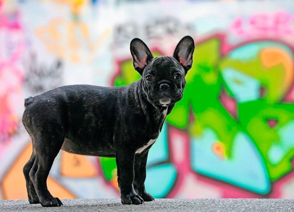 Puzzle Ravensburger Bulldog Francés 500 Piezas