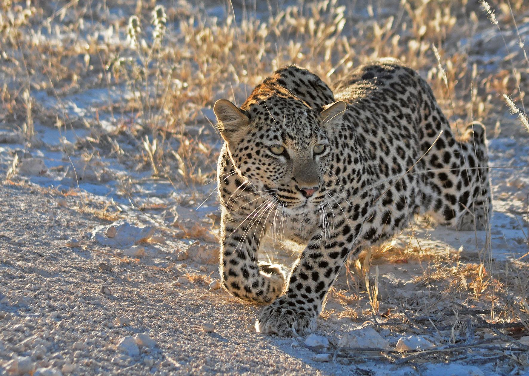 Puzzle Ravensburger Cachorro de Leopardo de 1000 Piezas
