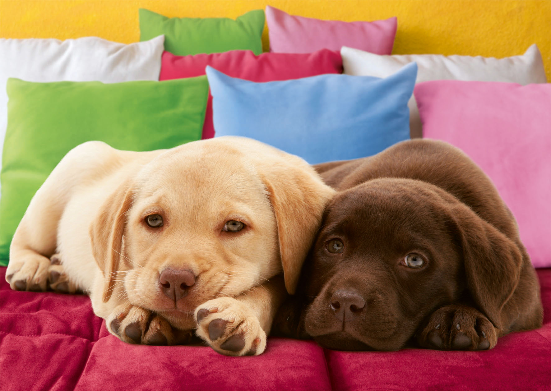 Puzzle Ravensburger Cachorros de Labrador de 1000 Piezas
