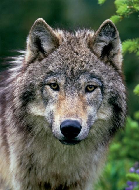 Puzzle Ravensburger Retrato del Lobo de 500 Piezas