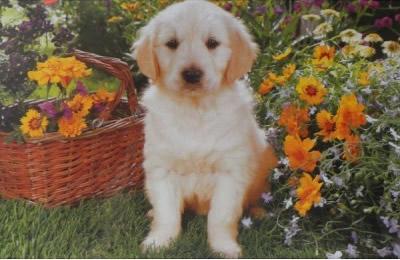 Puzzle Trefl Cachorro de Labrador en el Jardín de 500 Piezas