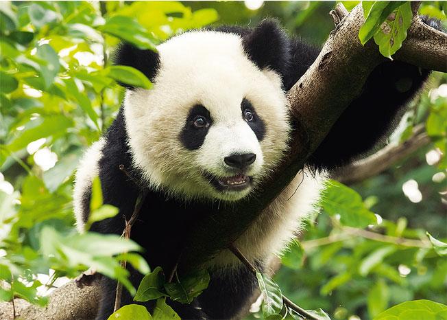 Puzzle Trefl Gran Panda de 500 Piezas