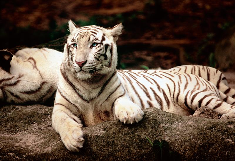 Puzzle Trefl Tigres de Bengala Blancos de 1500 Piezas